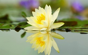Picture flower, water, drops, pond, river, Lily, petals