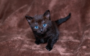 Picture look, kitty, black, blue-eyed