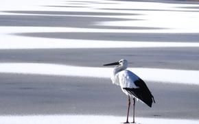 Picture snow, bird, stork