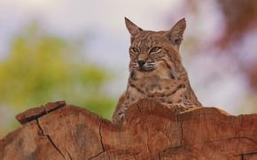 Picture portrait, lynx, wild cat