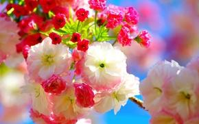 Picture flowers, cherry, spring, Sakura, pink, flowers, Spring, sakura, cherry