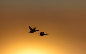 Picture birds, night, duck, flight