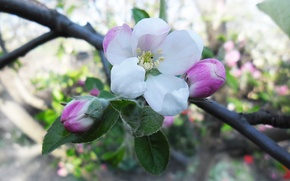 Picture flowers, pink, tenderness, spring, Apple