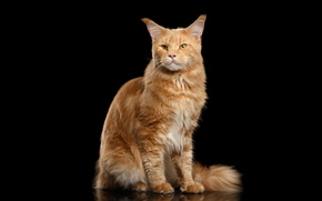 Picture cat, red, black background, Maine Coon