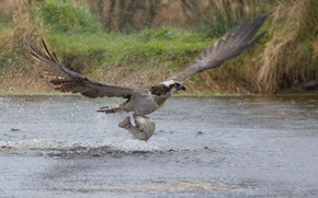 Picture squirt, bird, fish, predator, the rise, catch, osprey, Take-off