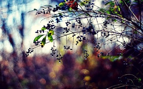 Picture leaves, color, drops, nature, berries, photo, background, branch, Wallpaper, plants, blur, bokeh