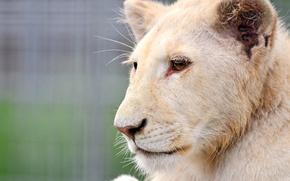 Picture white, face, Leo, profile, lion, albino