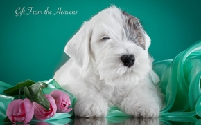 Picture tulips, puppy, the Sealyham Terrier