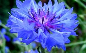Wallpaper greens, flower, blue, cornflower, cornflowers, bluet, cornflower, centaurea