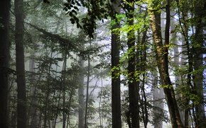 Picture forest, leaves, trees, fog