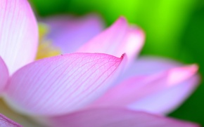 Wallpaper flower, petals, Lotus