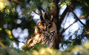 Wallpaper Nature, Photo, Tree, Owl, Branches