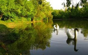 Wallpaper forest, the sky, trees, pond, Park, bird, Swan