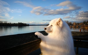 Wallpaper dog, Samoyed, river