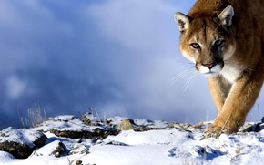 Picture look, snow, predator, Puma