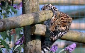 Picture the game, the fence, predator, leopard, kitty