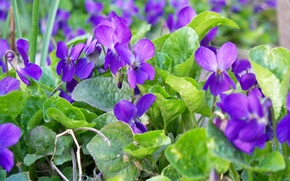 Picture purple, leaves, flowers, spring, flowers, aroma, violet, forest