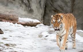 Picture winter, snow, wild cat, the Amur tiger