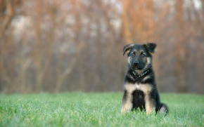 Picture grass, dog, puppy, bokeh, German shepherd