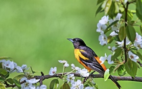 Picture bird, branch, flowering, Oriole
