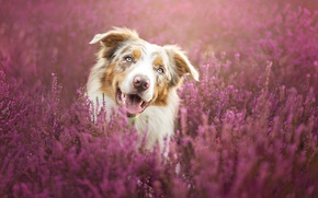 Picture flowers, portrait, dog, meadow, brown, the border collie, Wallpaper from lolita777