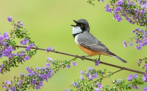 Picture flowers, bird, branch, feathers, singing