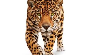 Picture animal, predator, white background, Jaguar, wild cat, green eyes