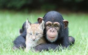 Wallpaper Nature, Cat, Best, Animals, Monkey, Feline, Chimpanzee, Ape, Friend, Lynx, Pals