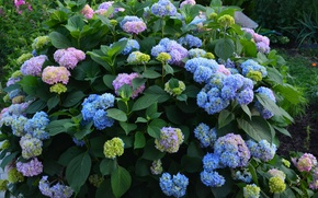 Picture summer, flowers, hydrangea