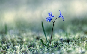 Picture grass, flowers, spring, Scilla