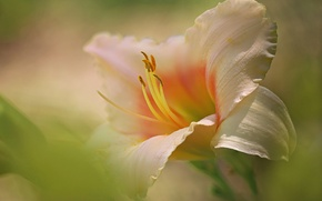 Picture macro, petals, stamens, Daylilies