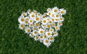Wallpaper CHAMOMILE, HEART, LEAVES, FLOWERS, GRASS, BACKGROUND, WHITE
