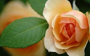 Picture macro, orange, rose