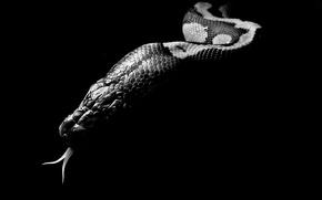 Picture language, background, Wallpaper, black, snake