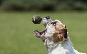 Picture dog, the ball, bulldog