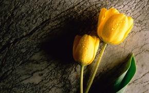 Wallpaper drops, yellow, tulips