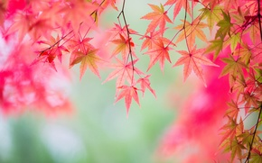 Picture autumn, leaves, branch, maple, the crimson
