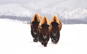 Picture winter, animals, snow, three, bull, Buffalo, bison