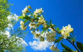 Picture cherry, branch, spring, flowering, blossom