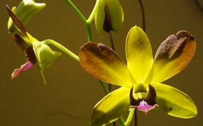 Picture flowers, macro, orchid