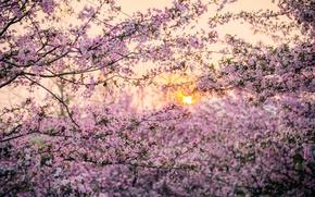 Picture the sun, trees, sunset, spring, Japan, Sakura