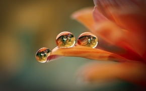 Picture flower, drops, background, petals