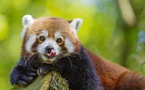 Picture language, look, face, red Panda, firefox, red Panda, ©Tambako The Jaguar