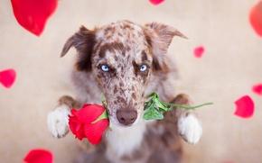 Wallpaper look, each, rose, dog