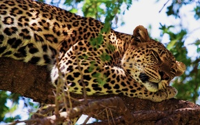 Wallpaper tree, stay, paw, leopard