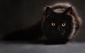 Picture Look, Eyes, Grey Background, Black, Cat, Black Cat