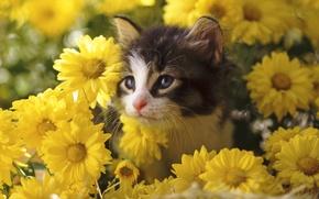 Picture flowers, kitty, chrysanthemum