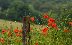 Picture flowers, macro, poppies, red, grass, stems, heat, petals, field, Maki, summer, green, nature