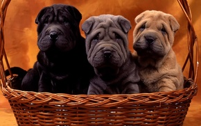 Picture dogs, basket, puppies, Sharpay