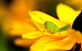 Picture flower, yellow, green, grasshopper, rudbeckia